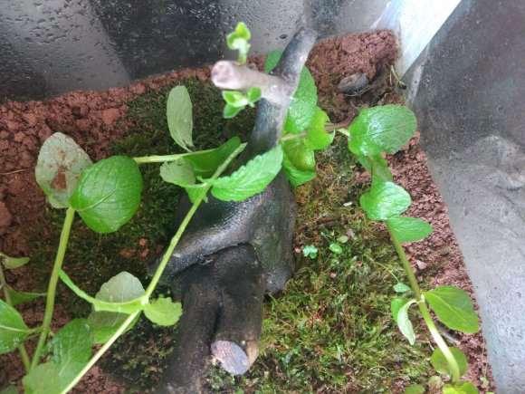 老鸦柿下山桩 几月份发芽 15度左右