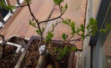 老鸦柿下山桩生桩种2年了 没开过花