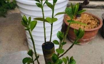 老鸦柿下山桩怎么种植 腐殖土可以吗