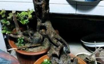 去年年底的老鸦柿下山桩都发芽了