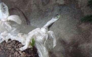 怎么用软枣树嫁接的金弹子下山桩