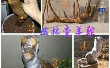 杂木下山桩素材怎么上盆缠膜的技术