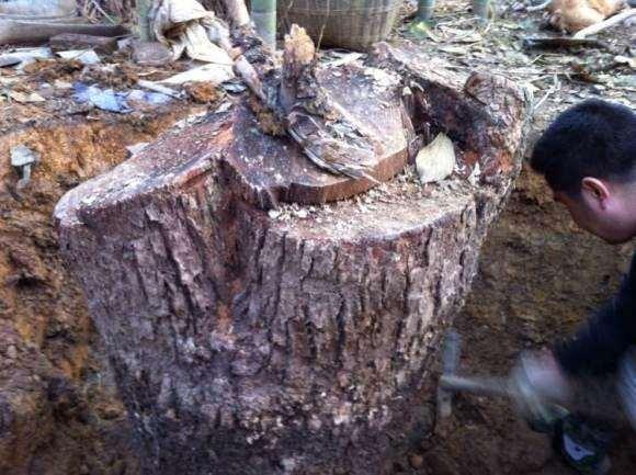 香樟下山桩移栽之后怎么造型