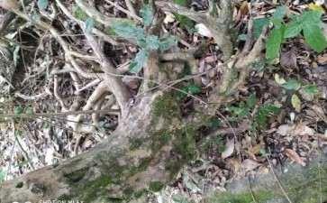 好大一颗白花檵木下山桩 可以吗 图片