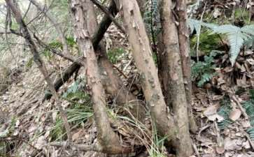 漫山遍野的白花檵木下山桩 值得挖吗