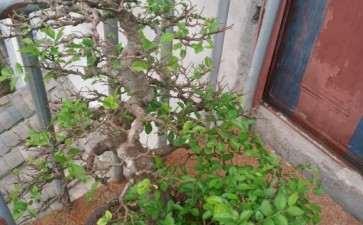 榆树盆景摘叶过后 有些不长叶子 图片