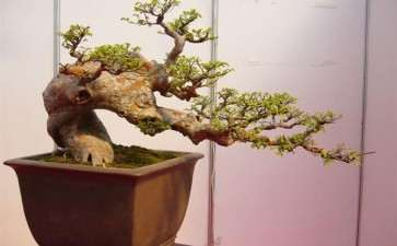 榆树盆景叶子太大 怎么摘叶 图片