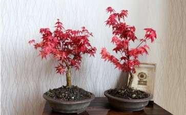 红舞姬红枫盆景 春季3月可以摘叶吗