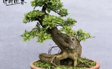 广东雀梅盆景冬季1月能摘叶吗 图片