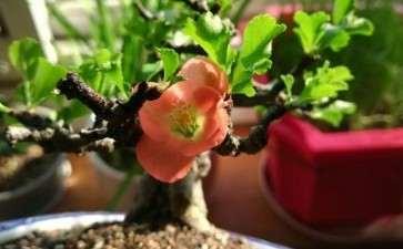 长寿梅盆景叶子 什么时候摘叶比较好