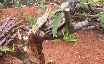 桃树老桩下山桩 已经环皮 明年能长新根吗