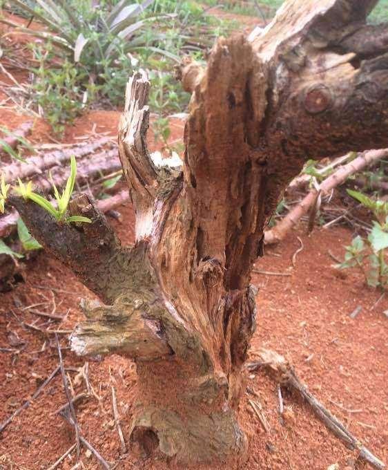 桃树下山桩可以做成盆景吗