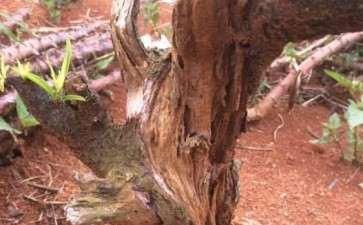 桃树下山桩老桩可以做成盆景吗 图片