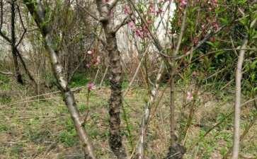 这棵桃树下山桩做老桩盆景的价值吗