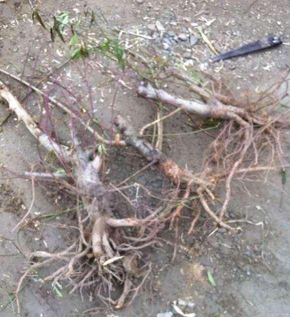 草垛里捡了四棵刚刨的桃树下山桩