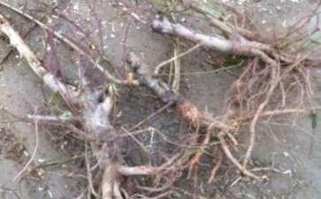 草垛里捡了四棵刚刨的桃树下山桩 图片
