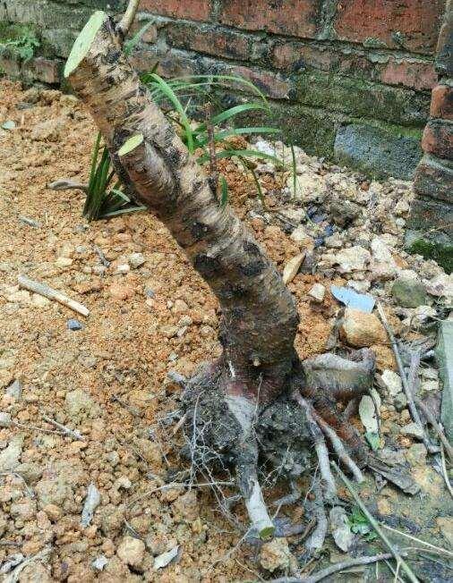 用桃树下山桩试做盆景