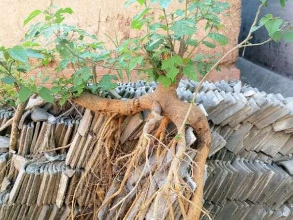 枸桃树下山桩能做盆景