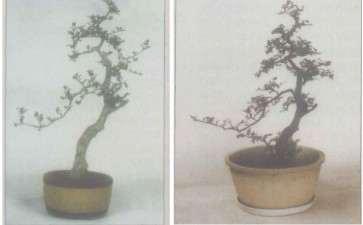 文人树盆景怎么改作的方法 图片