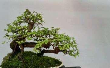 盆景乐园承担第三届全国微型盆景展