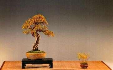 怎么制作日本风知草盆景的方法 图片