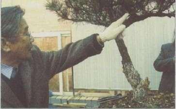 图解 松树盆景高干垂枝怎么创作的方法