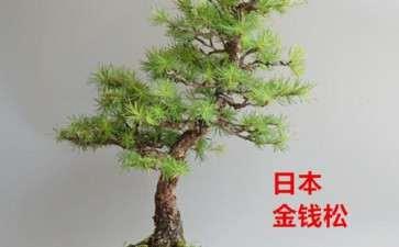 文人松树盆景枝条伸展姿态怎么矫正的方法