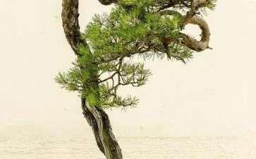 文人松树盆景枝条怎么处理的2个方法