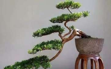 对树木盆景主干怎么处理的3方法