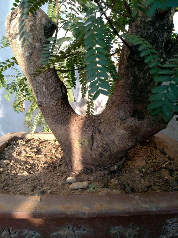 清香木下山桩半土半沙的 经常喷水 容易活