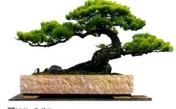 马尾松盆景怎么播种繁殖的4个方法