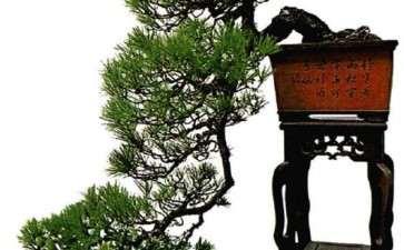 马尾松盆景用盆造型的3个方法 图片