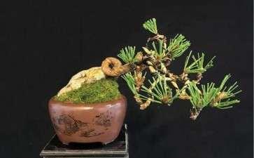黑松盆景的盆土的选择与浇水方法
