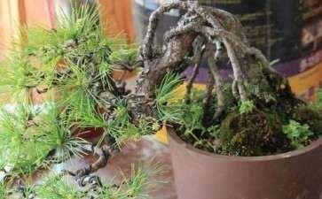 黑松盆景肥料怎么控制的方法