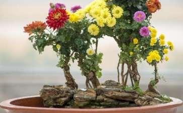 速成菊花盆景制作与养护的5个方面