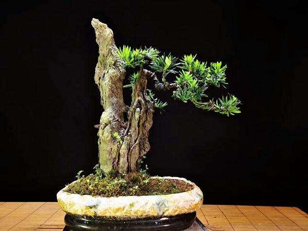 树桩盆景怎么整形修剪的6个方法