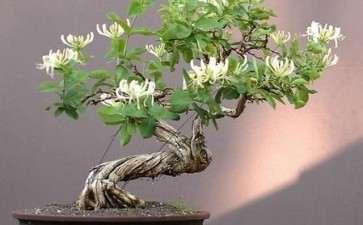 树桩盆景怎么换盆的4个方法