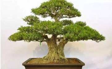 树桩盆景怎么施肥的3个技术