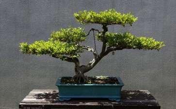 黄杨盆景怎么造型的4个方法