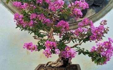 紫薇盆景病虫害怎么防治的方法