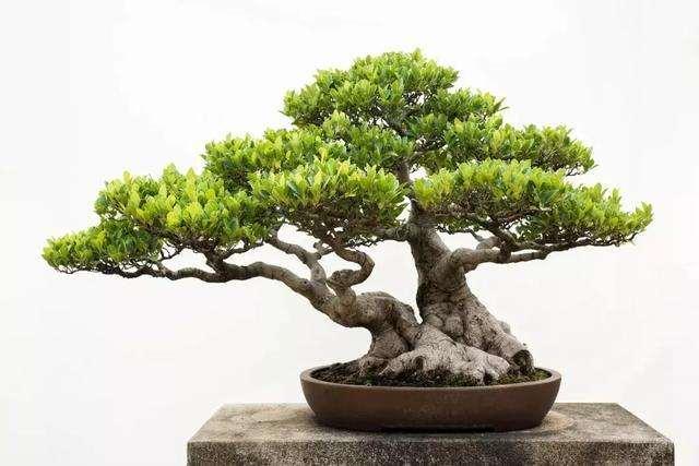 怎么快速培养榕树盆景的方法