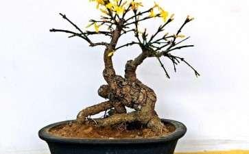 迎春树桩盆景怎么上盆提根的3个方法