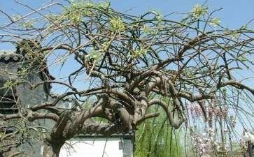 龙爪槐砧苗怎么定植养根的2个方法