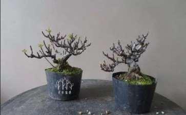 盆景植物怎么翻盆的4个方法