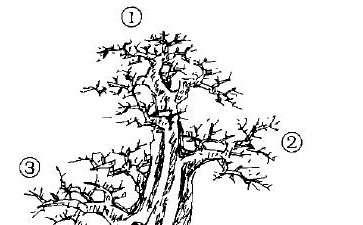 图解 单干大树形盆景怎么造型的方法