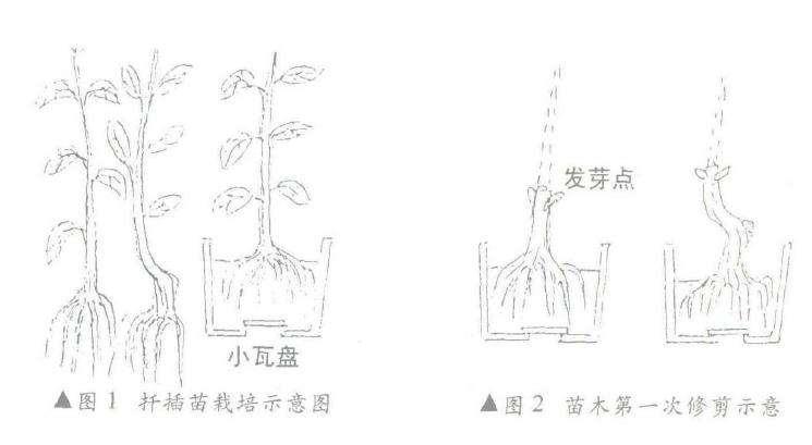 扦插树桩盆景在发芽后怎么修剪