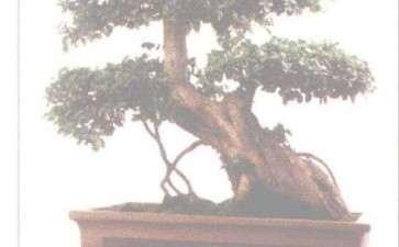 怎么做好盆景树桩养护中的收 图片