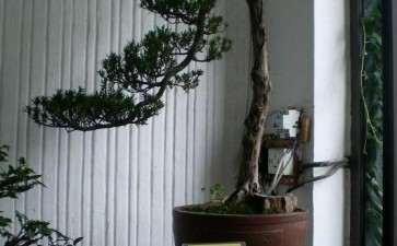罗汉松盆景的4个品种介绍