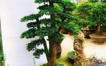 罗汉松盆景的怎么栽培的7个技术
