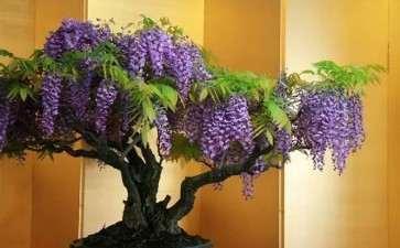 紫藤盆景为什么不开花的5个原因